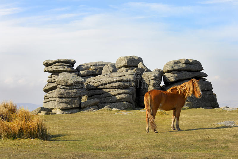 Dartmoor Pony at Combestone Tor. Dartmoor, South Devon, UK royalty free stock photo