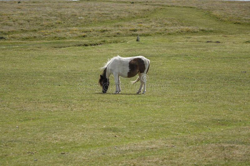 Dartmoor Pony Devon England UK. Dartmoor,National-park Devon England UK Dartmoor-pony sunny summers afternoon royalty free stock image