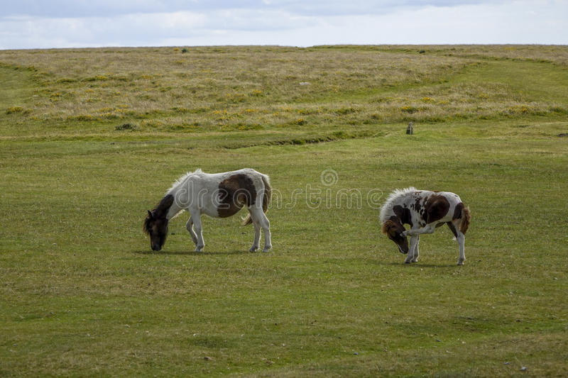 Dartmoor Pony Devon England UK. Dartmoor,National-park Devon England UK Dartmoor-pony sunny summers afternoon stock photography
