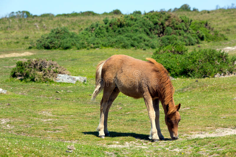 Dartmoor Pony Devon in the National Park royalty free stock images