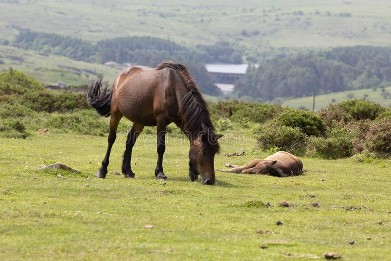 Dartmoor pony and foal, Dartmoor, Devon, UK. A Dartmoor pony mare with her foal in the Dartmoor National park, Devon, UK..The Dartmoor pony is breed of pony that stock photos
