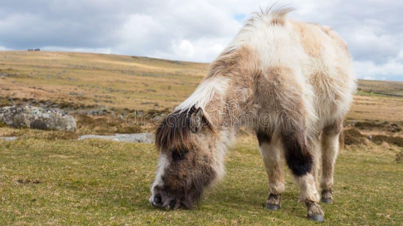 Dartmoor Pony Grazing foto de archivo libre de regalías