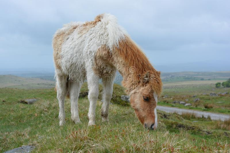 Dartmoor pony grazing on the high moors, UK. Dartmoor pony grazing in Dartmoor National Park, on an overcast day in the late spring, Devon, England stock photos