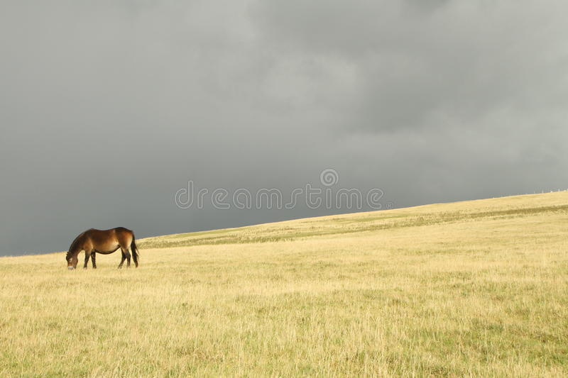Dartmoor pony grazing before a storm. Native wild pony in the Dartmoor National Park an area of moorland in South Devon, UK with a foreground of golden grass and stock images