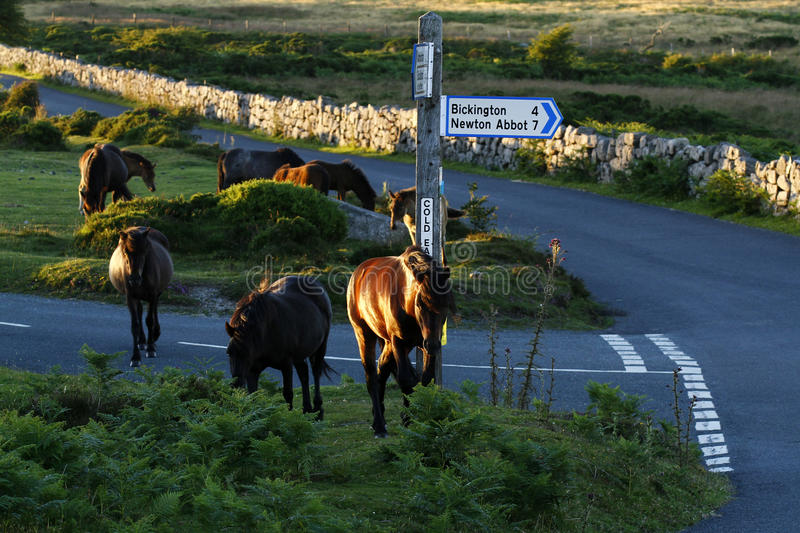 Dartmoor Pony Herd royaltyfri bild
