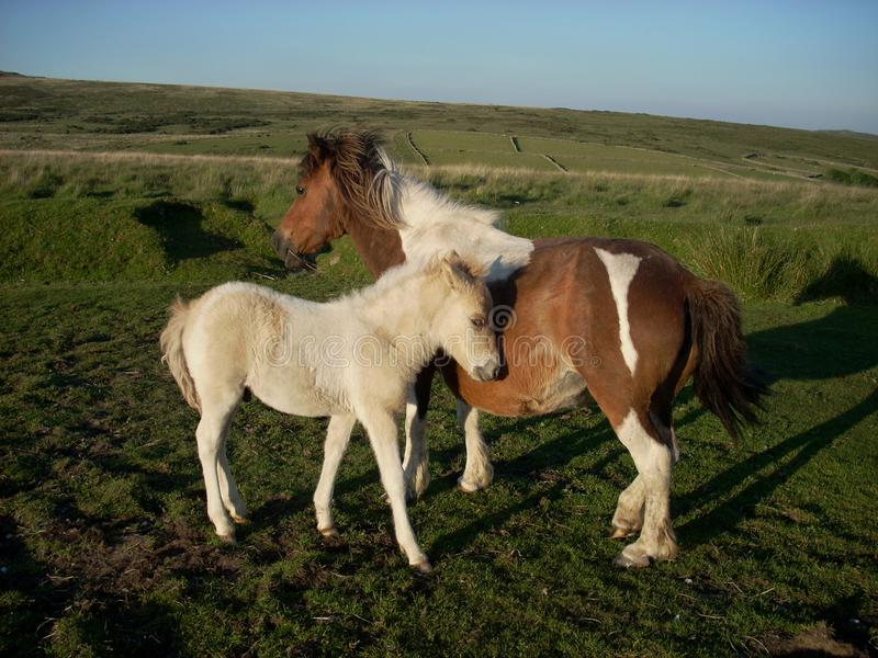 Mother and foal Dartmoor pony. The Dartmoor pony is a horse breed that has lived in south western England for centuries and is used for a variety of disciplines stock photography