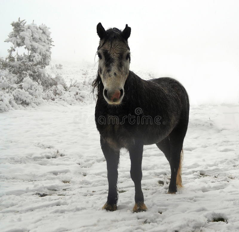 Dartmoor-Pony im Schnee lizenzfreies stockbild