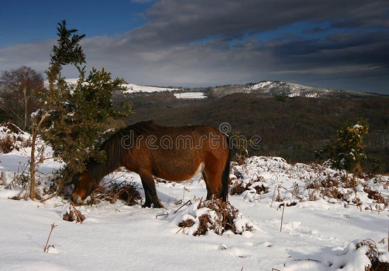 A Dartmoor pony looks for food stock photos
