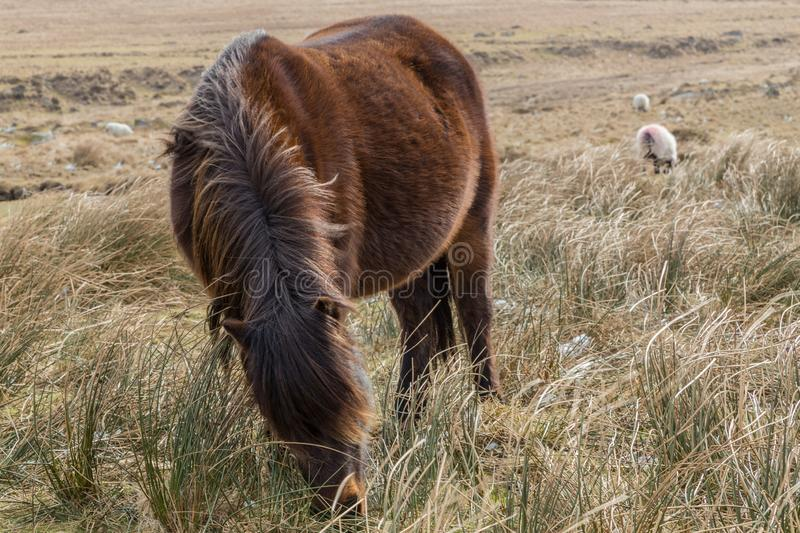 A Dartmoor pony with it`s head down grazing on the dry grass of the Dartmoor National Park, England. With sheep in the background stock images