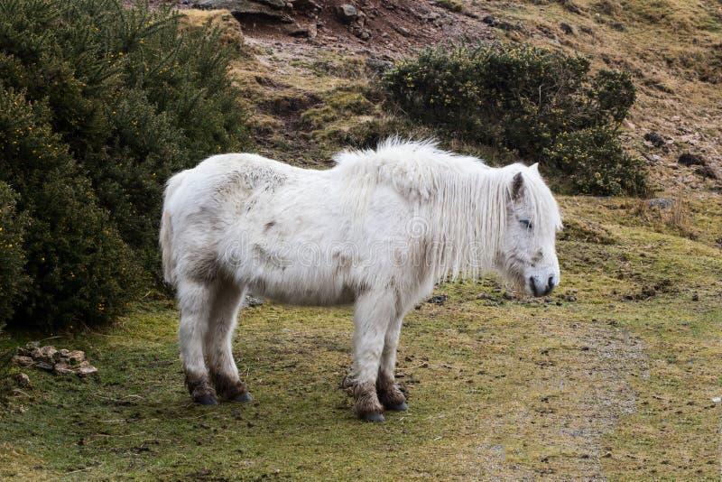 Dartmoor Pony Sheltering em Dartmoor fotos de stock royalty free