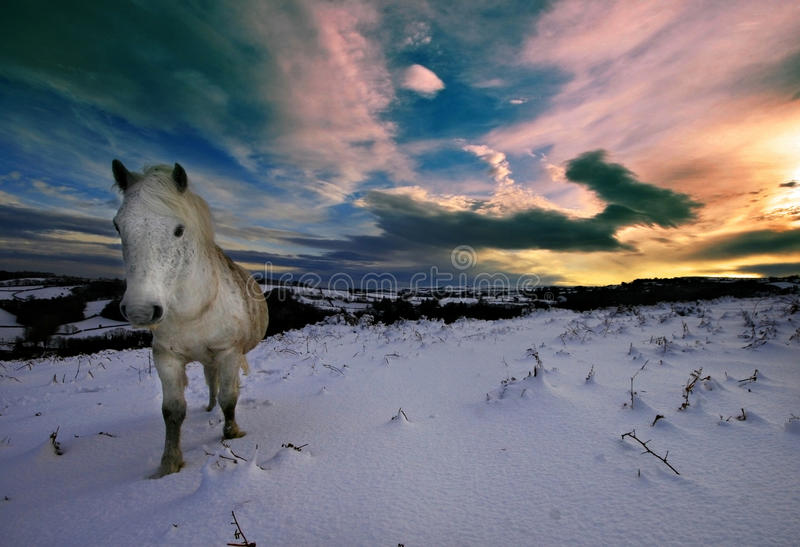 Dartmoor pony walking in snow royalty free stock photography