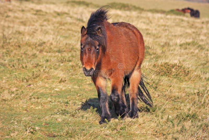 Dartmoor Pony royalty free stock images