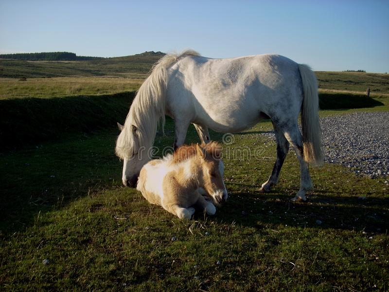 2 Dartmoor pony so at ease. This Dartmoor pony and young foal on a beautiful summers day royalty free stock photography