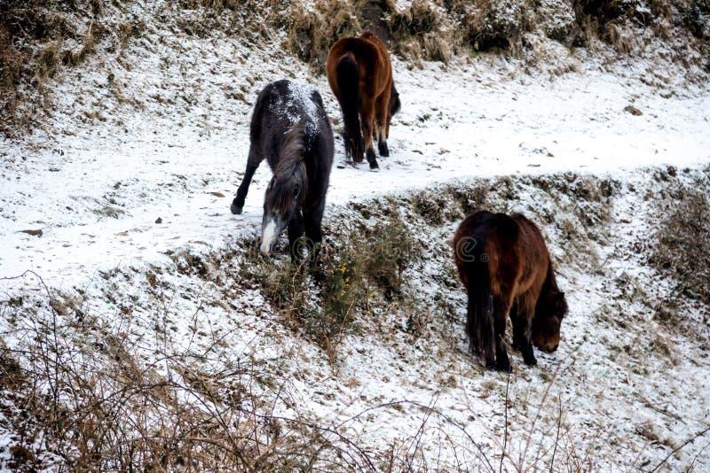 Dartmoor Reino Unido durante la bestia a partir del 2018 del este imágenes de archivo libres de regalías