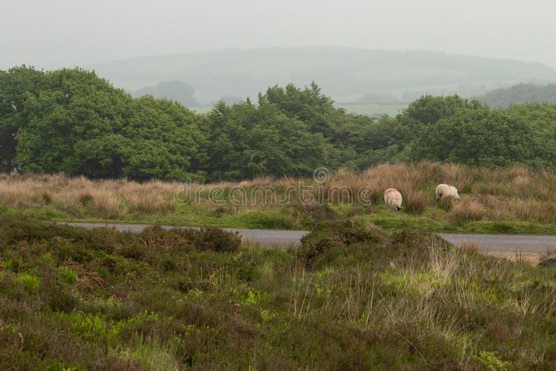 Dartmoor sheep. Wild and free sheep in Dartmoor in England stock photography