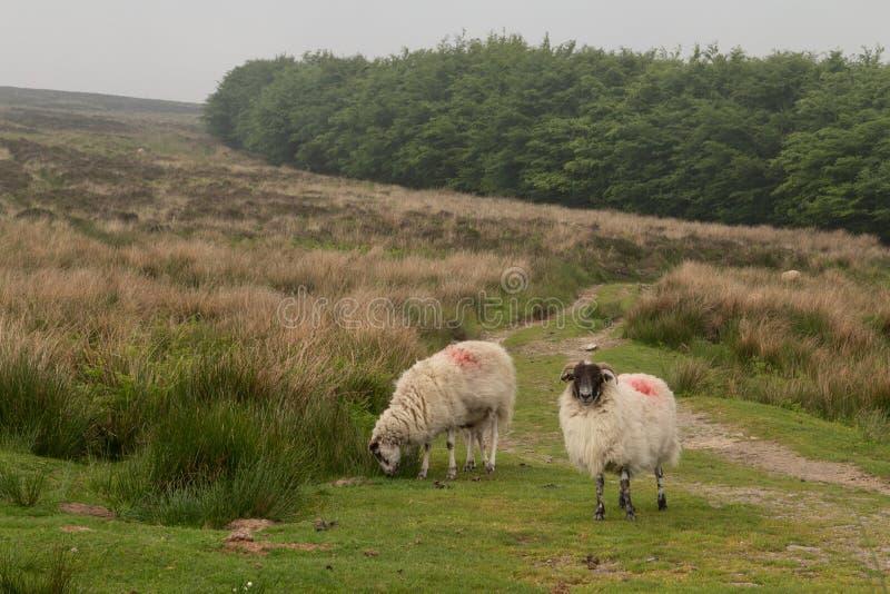 Dartmoor sheep. Wild and free sheep in Dartmoor in England royalty free stock image