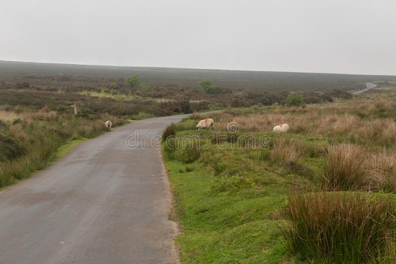 Dartmoor sheep. Wild and free sheep in Dartmoor in England royalty free stock images