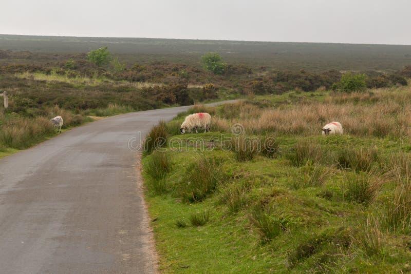 Dartmoor sheep. Wild and free sheep in Dartmoor in England stock photo