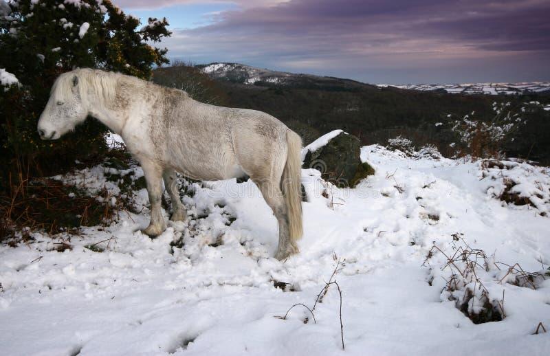 Dartmoor stallion feeding in snow royalty free stock photography