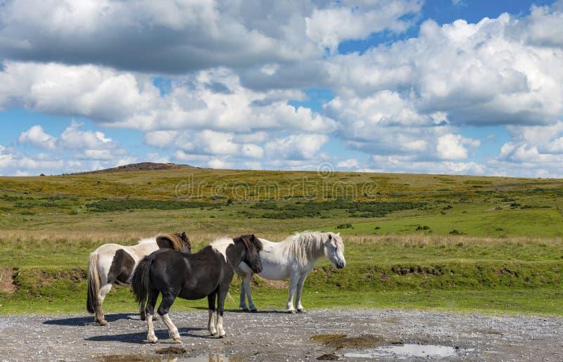 Dartmoor Wilde Poneys royalty-vrije stock foto's