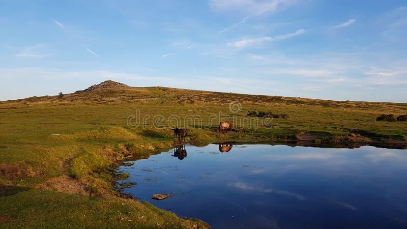 dartmoor Wildponies  免版税库存照片