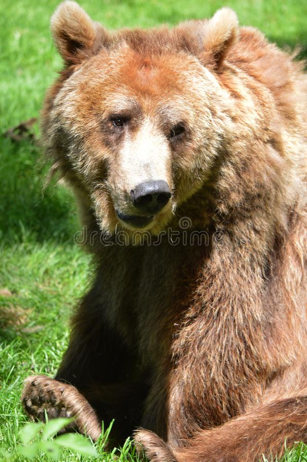 Dartmoor Zoos brown bear. Hayley royalty free stock images