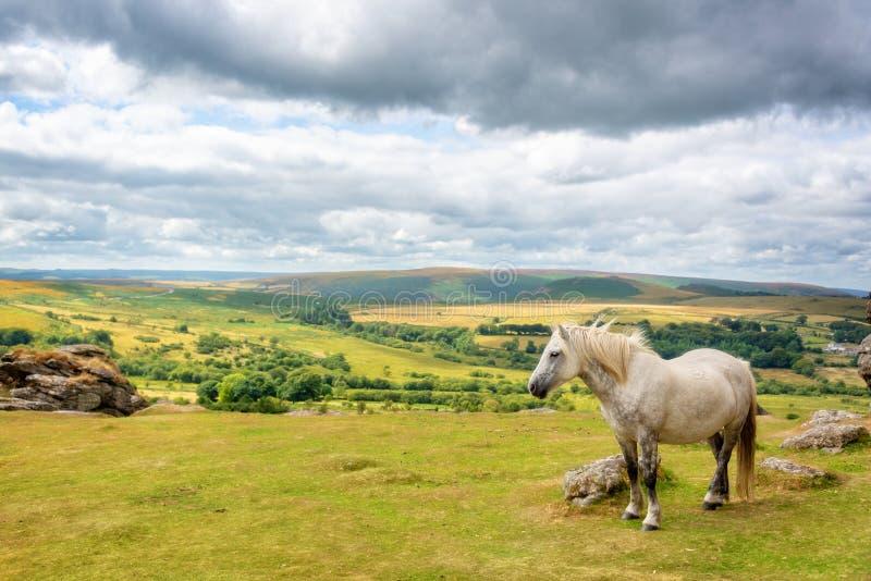 Dartmoorponey dichtbij Zadelpiek, Dartmoor, Devon het UK stock afbeeldingen