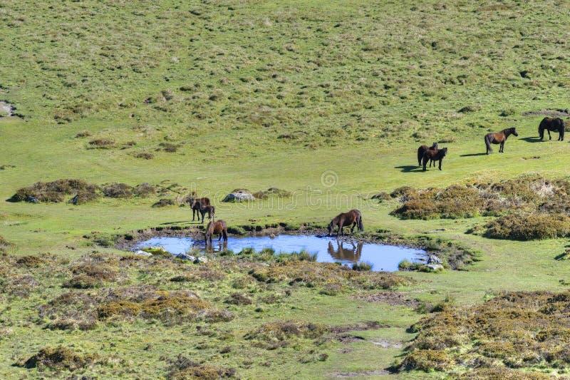 Dartmoorponeys bij Heidepool royalty-vrije stock afbeelding