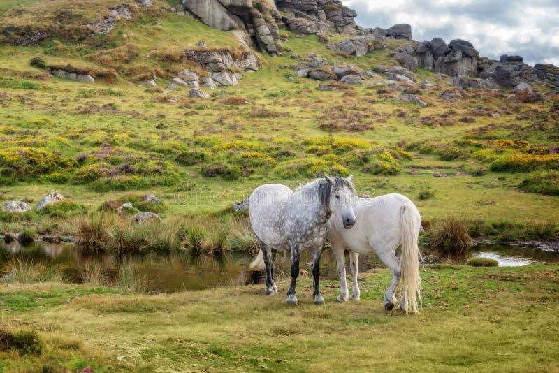 Dartmoorponeys dichtbij Zadelpiek, Dartmoor, Devon het UK stock foto