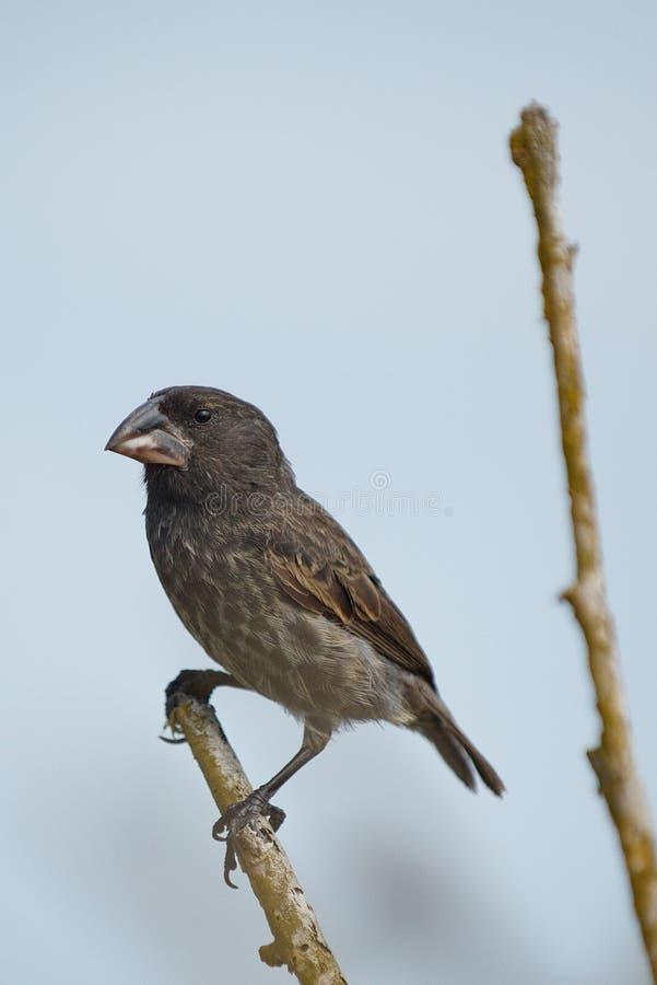 Darwin Finch foto de stock royalty free