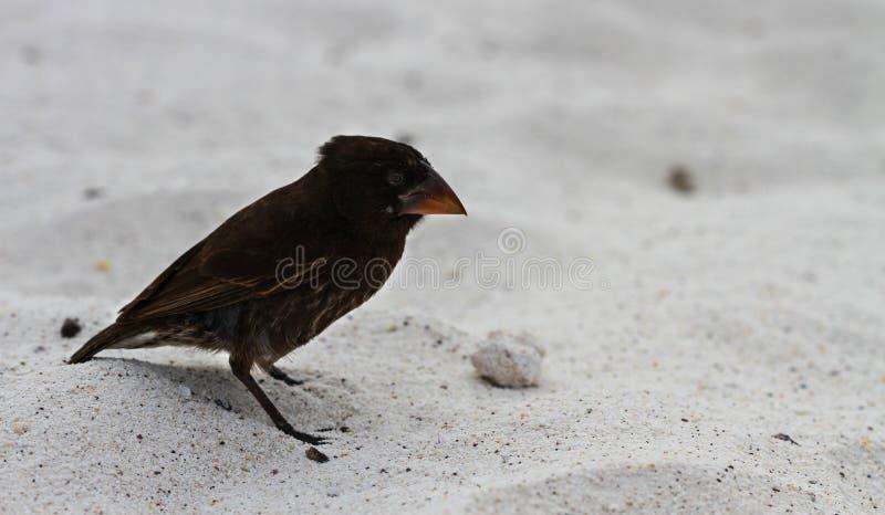 Darwin Finch photos stock