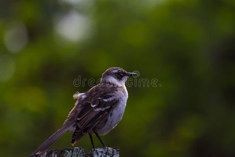 Darwin Finch fotografia stock