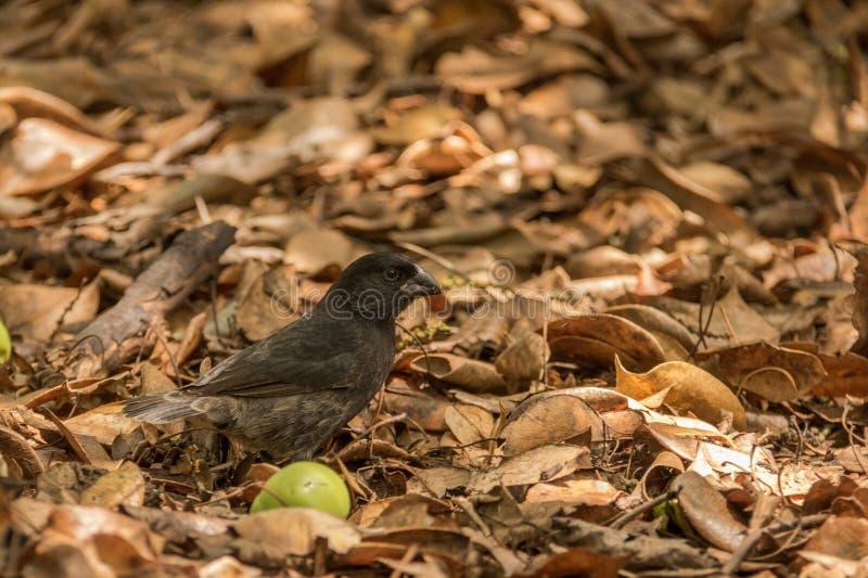 Darwin Finch immagini stock