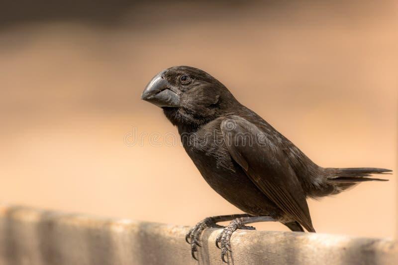 Darwin Finch immagini stock libere da diritti