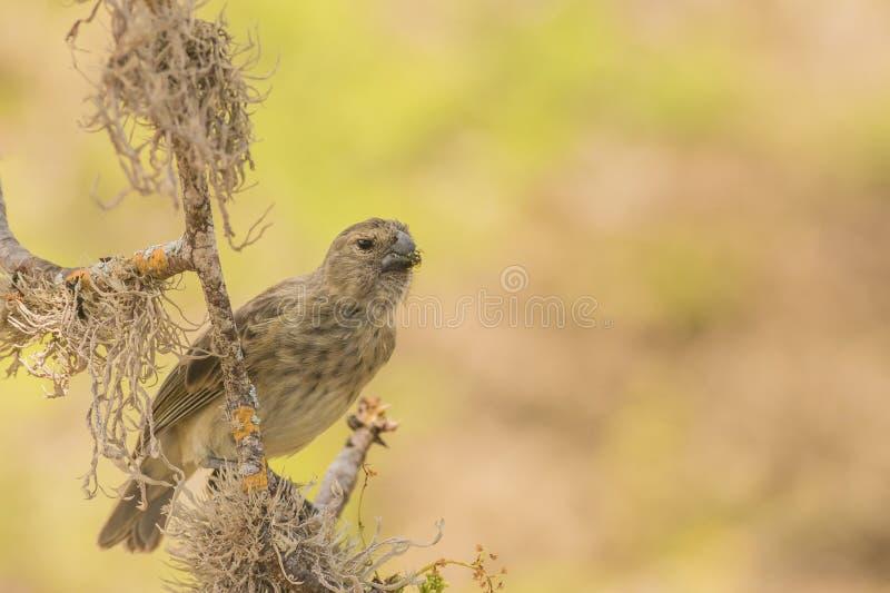 Darwin Finch fotografia stock libera da diritti
