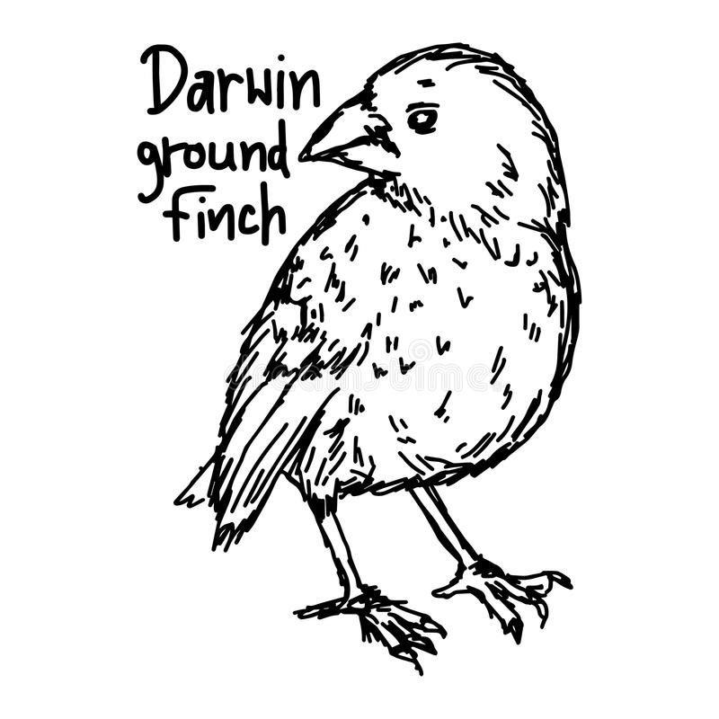 Darwin ground finch - vector illustration sketch hand drawn with stock illustration