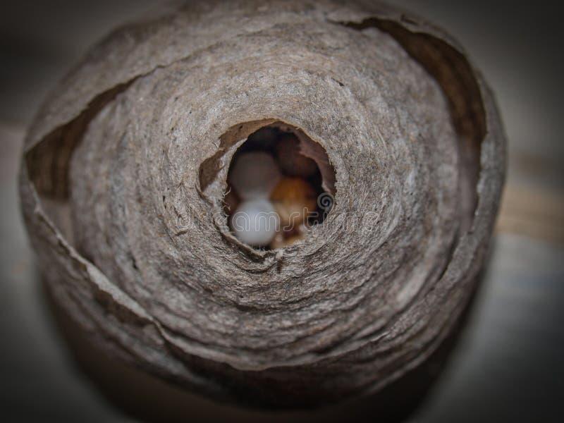 Das Öffnen zu Kahl-gesichtige Hornissen nisten lizenzfreies stockbild