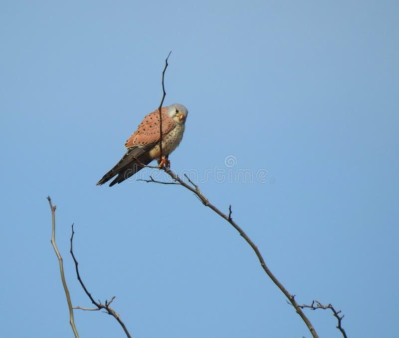 Das allgemeine Turmfalke Falco-tinnunculus lizenzfreie stockfotografie