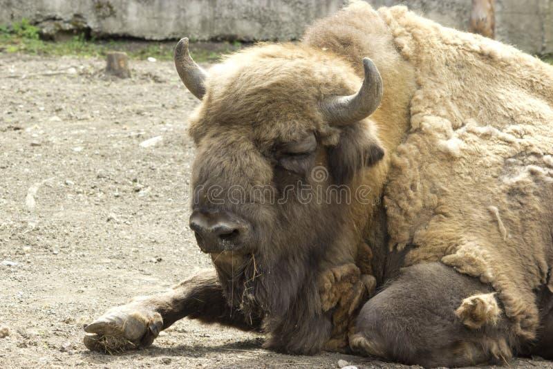 Das Amerikaner-Bison Buffalo-Seitenprofil stockfotos