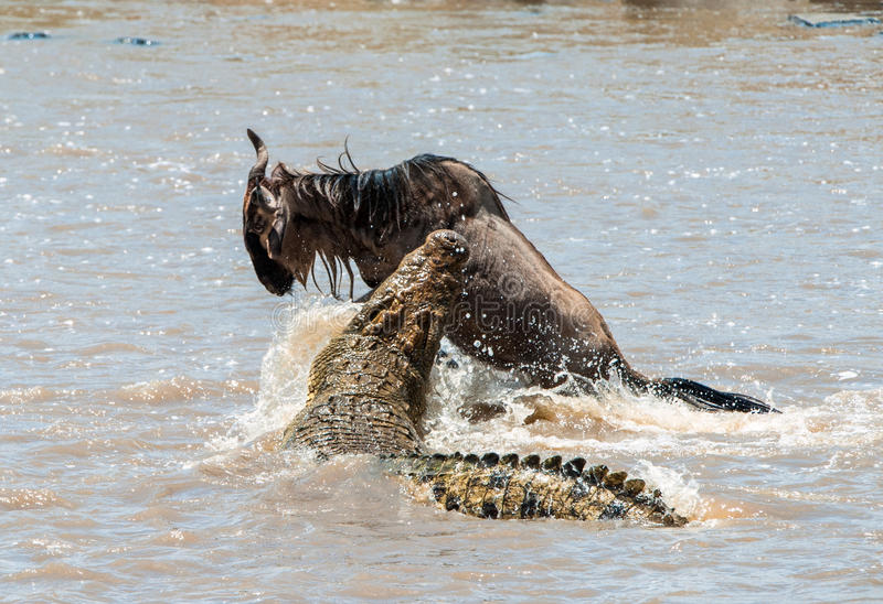 Das Antilope Streifengnu (Connochaetes taurinus), hat zu einem Angriff eines Krokodils durchgemacht stockbilder