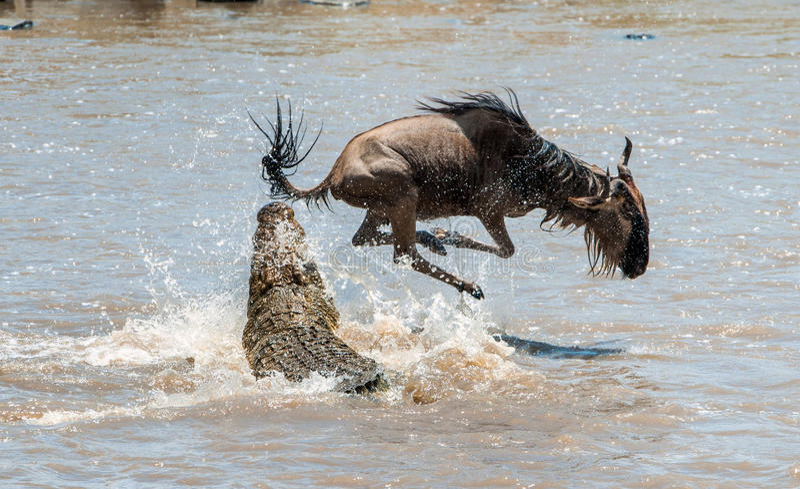 Das Antilope Streifengnu (Connochaetes taurinus), hat zu einem Angriff eines Krokodils durchgemacht stockfotos
