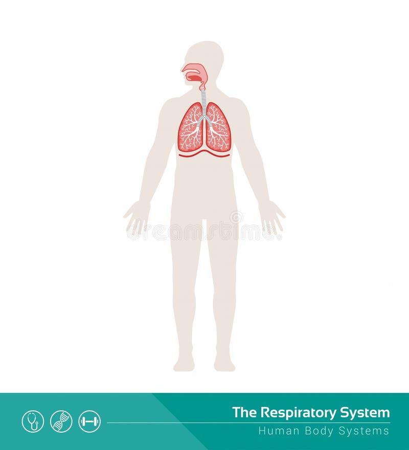 Das Atmungssystem vektor abbildung. Illustration von vektor - 56171448