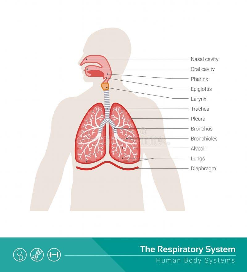 Das Atmungssystem vektor abbildung. Illustration von einatmung ...