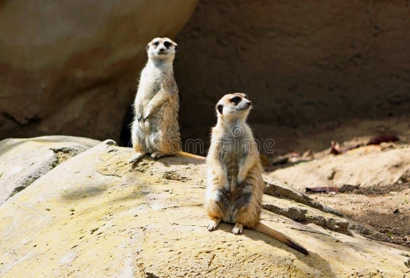 Das aufpassende Team Meerkat-Freundes lizenzfreie stockfotografie