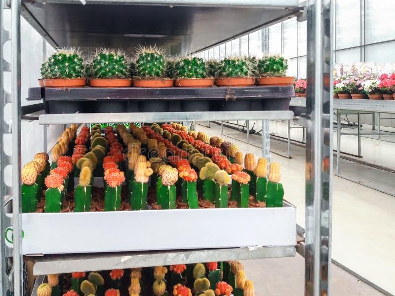 Das bebaute dekorative Blumenwachsen in einer kommerziellen plactic Folie bedeckte Gartenbaugewächshaus lizenzfreie stockbilder