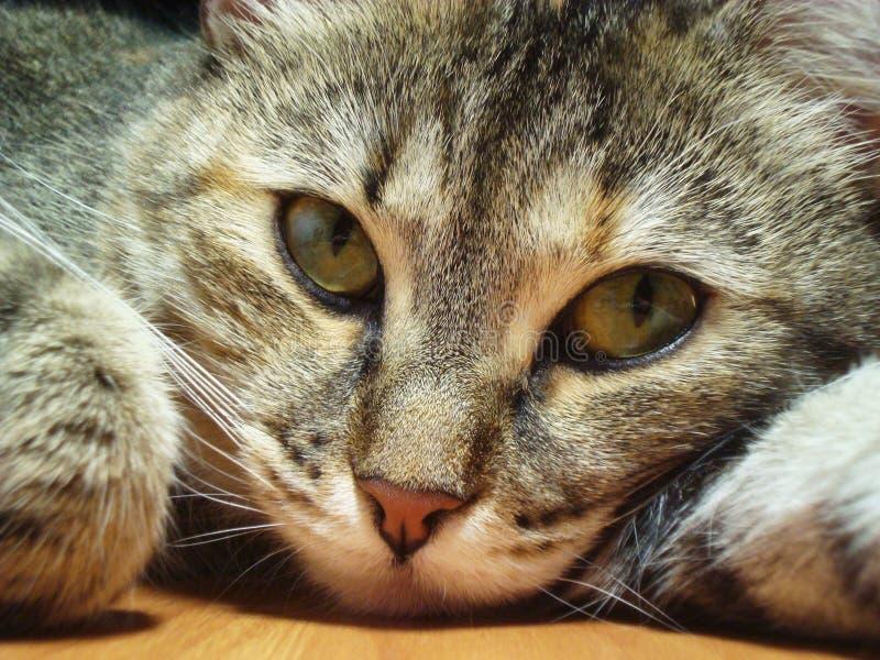 Das bedrohliche Anstarren der Katze lizenzfreie stockfotos