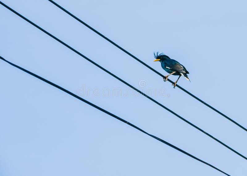 Das Beo, sitzend auf einem Draht mit einem Hintergrund des blauen Himmels sind gemeine Myna-Vögel stockfotos
