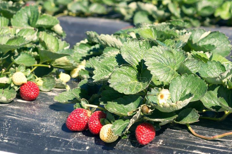 Das Bett von Erdbeeren schmiegte sich schwarzen Film an Reife Beeren und flo stockbilder