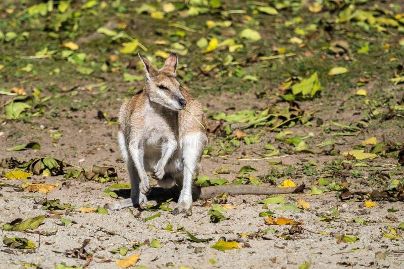 Das bewegliche Wallaby, Macropus agilis alias das sandige Wallaby stockfoto