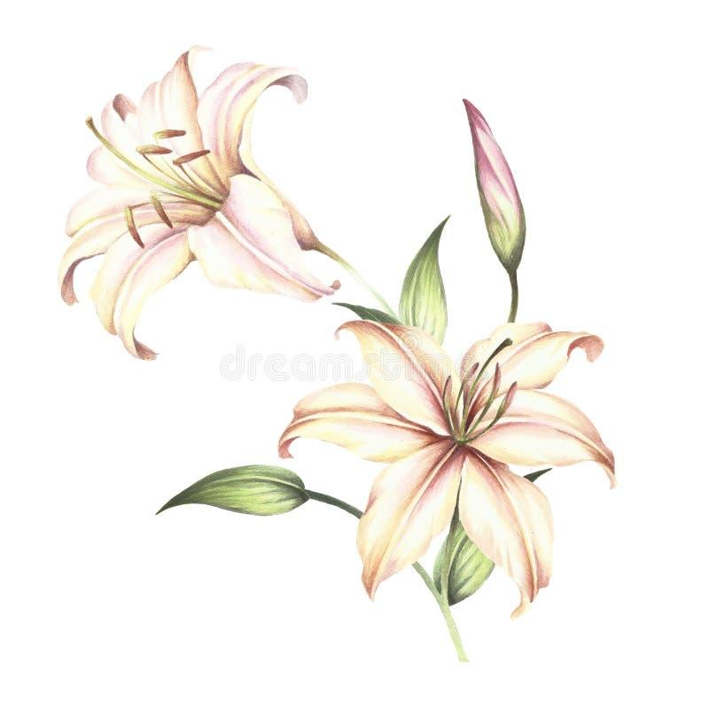 Das Bild von Lilien Aquarellillustration des Handabgehobenen betrages vektor abbildung